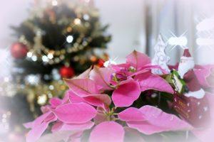 ピンクのポインセチア