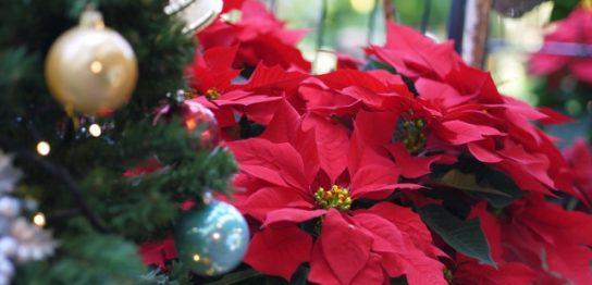ポインセチアでクリスマス